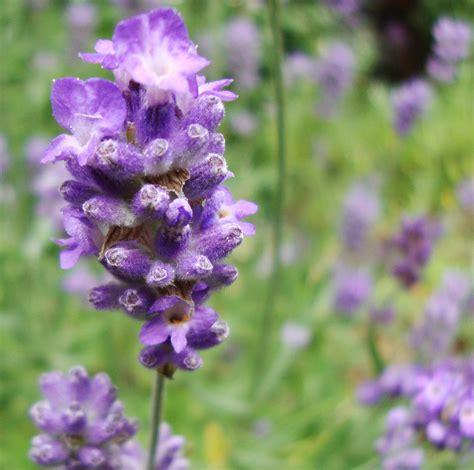 Lavender Flowers lavender flower essence flower essences flower remedies tree frog farm