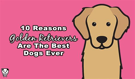 golden retrievers are the best dogs 10 reasons golden retrievers are the best dogs