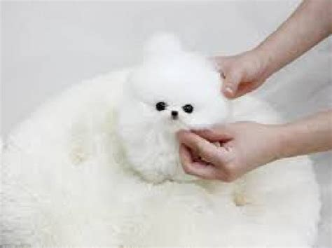 white pomeranian puppies for sale white teacup pomeranian puppies for sale in kingston jamaica dogs