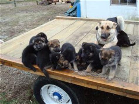 german shepherd puppies for sale in ky german shepherd puppies in kentucky