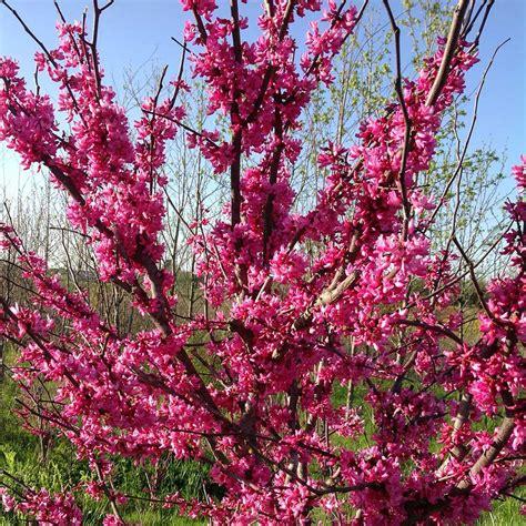 eastern redbud white flower farm