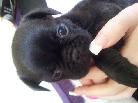 frug puppies frug puppy bulldog and pug breeds picture