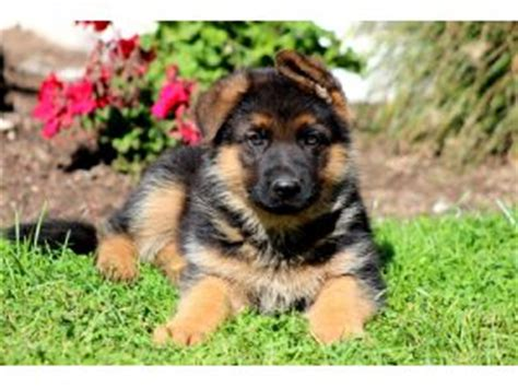 german shepherd puppies for sale in pa cheap german shepherd breed information pictures alsatian
