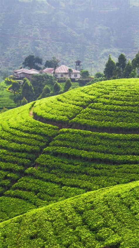 wallpaper tea plantation   wallpaper hills trees