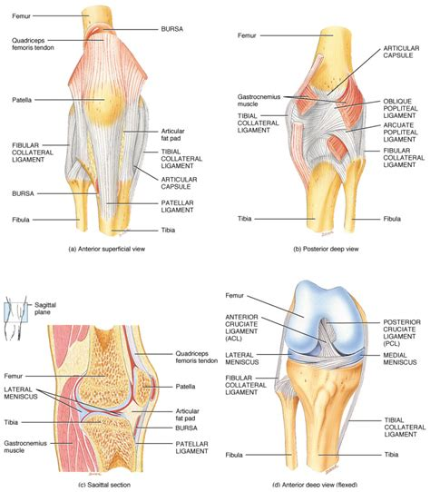 easy notes on ligaments of the knee joint learn in just 3 minutes