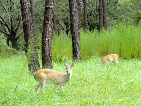 what to feed deer in backyard deer eating your landscaping here s advice to stop them