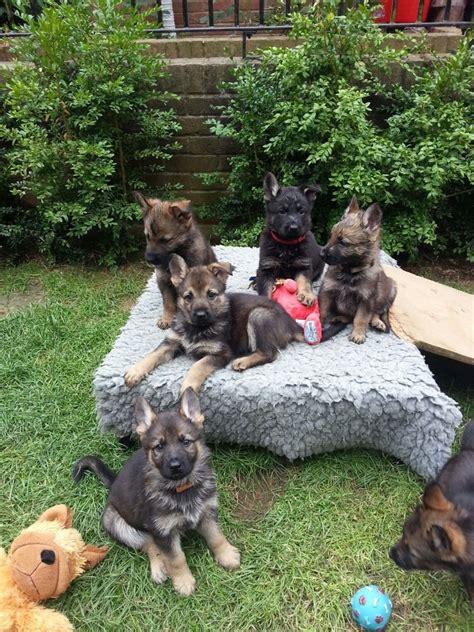 10 week german shepherd puppies 10 week german shepherd common information and pictures