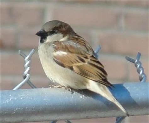 english house sparrow 17 best images about sparrows on pinterest passerine birds and africa