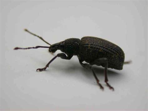 rüsselkäfer im haus artenschutz insekten 220 bersicht