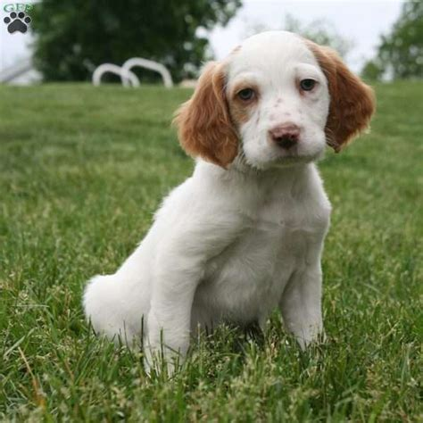 english setter dogs for sale rusty english setter puppy for sale in pennsylvania