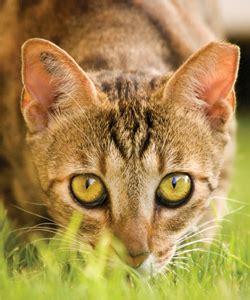 Barn Cat Program Ear Tipping Carol S Ferals