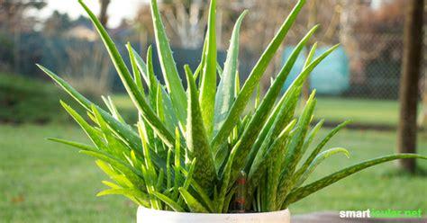 Aloe Vera Pflanze Pflegen 4876 by Aloe Vera Richtig Pflegen Damit Du Immer Frisches Gel Hast