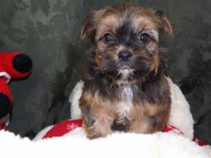 small non shedding shorkie puppies other south
