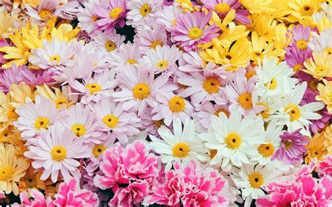 imagenes de rosas diferentes colores flores margaritas de colores hd 2560x1600 imagenes