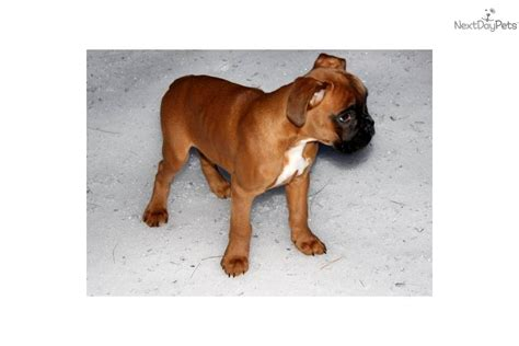 boxer puppies for sale in maine boxer puppy for sale near maine f41794ff 5751