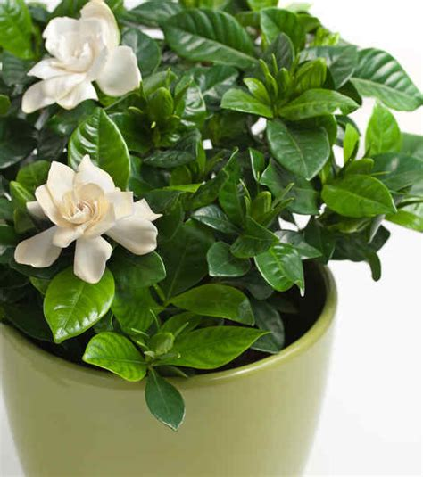 gardenia care repotting  watering  gardenias