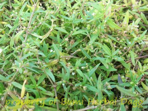 Obat Rumput jenis tanaman obat bibit buah kalimantan