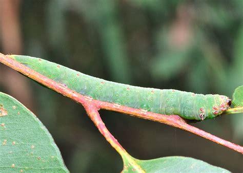 gum notodontid moth