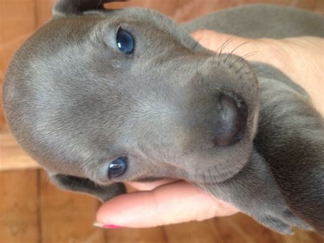 puppy greyhound italian greyhound puppies pontypool torfaen pets4homes