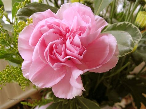 pink carnation pink color photo 34691891 fanpop