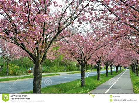 flowering cherry trees along a road stock image image of colorintensively allee 31079093
