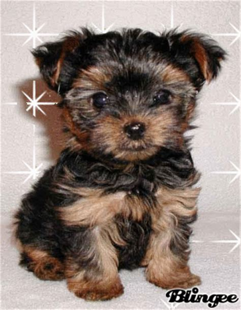 the cutest yorkie in the world cutest yorkie in the world picture 125388504 blingee