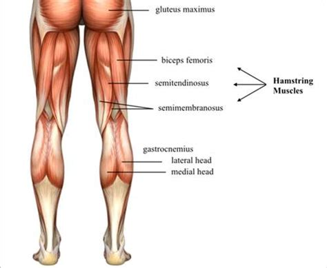 hamstring muscles diagram hamstring muscles diagram diagrams for all