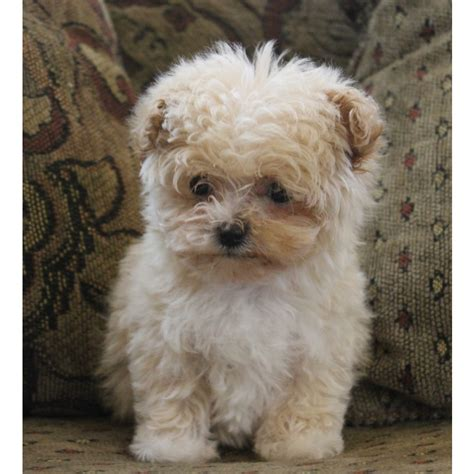 maltipoo puppies for sale in puppies for sale maltipoos maltepoos in franktown colorado puppy