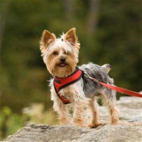 common yorkie problems 12 common breeds their health issues