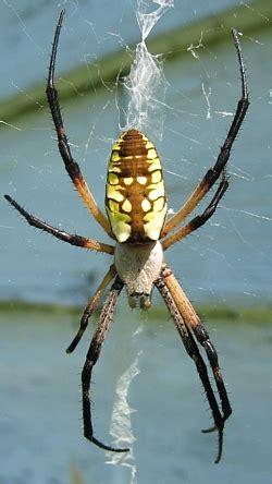 Garden Spider Ky Orb Weavers Of Kentucky Of Kentucky Entomology