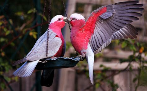 picture of love bird wallpaper hd wide birds pics litle pups love birds wallpapers 183