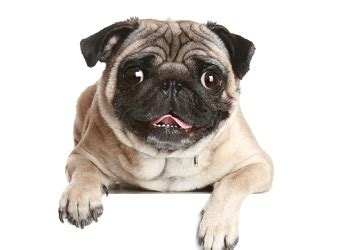 pug lifespan pug breed information facts lifespan