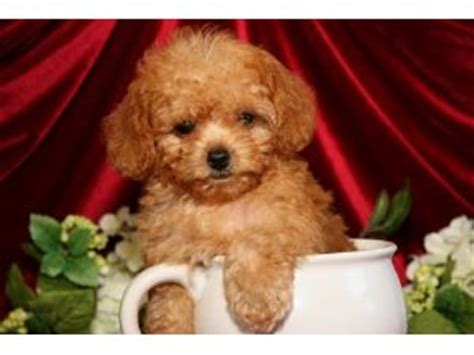 standard poodle puppies for sale florida poodle puppies for sale poodle puppies for sale in orange prak jacksonville fl
