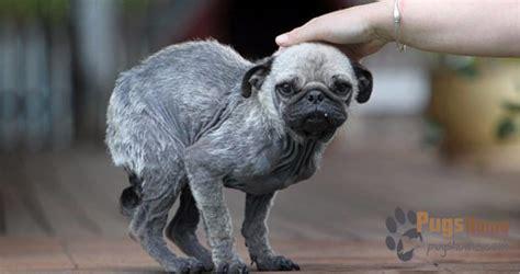 pug rescue new pennsylvania pug rescue