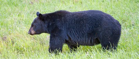 Black Bears how to deter black bears educate the wildlife