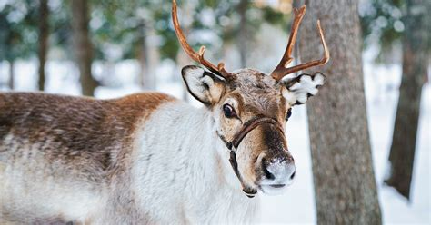 this is where you can see real reindeer in essex this