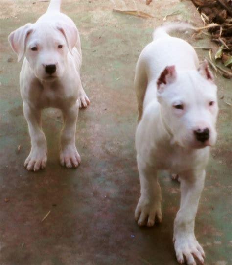 dogo argentino imagenes de dogos argentinos taringa