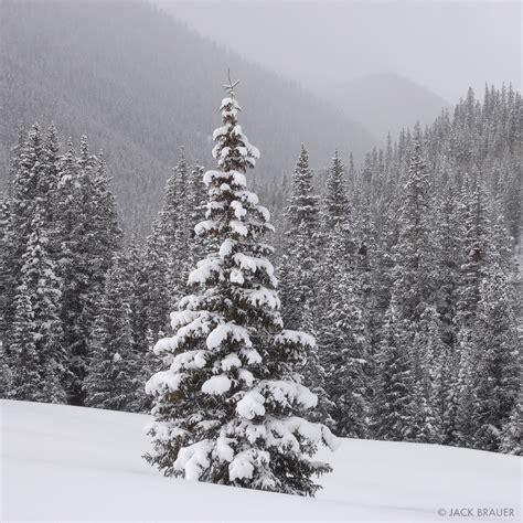 colorado mountain christmas tree snowy tree san juan mountains colorado mountain photography by brauer
