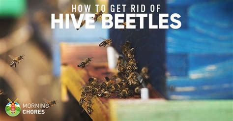 how to get rid of a beehive in your backyard how to get rid of small hive beetles for good in 5 fail