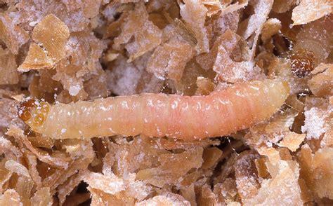 rid  indianmeal moths   pantry