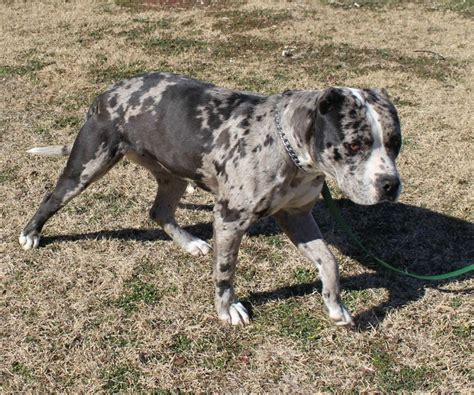 catahoula puppies for sale craigslist catahoula pitbull mix puppies gorgeous mix catahoula and breeds picture