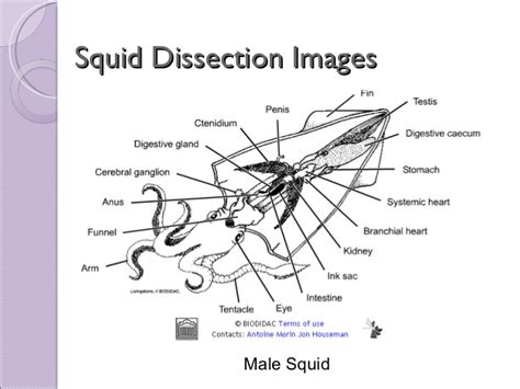 squid dissection lab worksheet squid dissection worksheet worksheets releaseboard free printable worksheets and activities