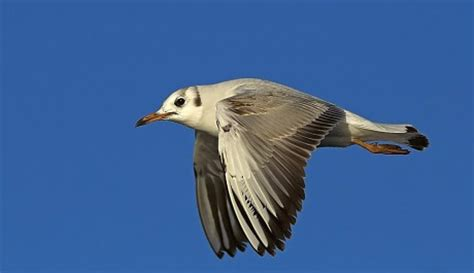 gabbiano specie gabbiano comune le specie protette gli uccelli in