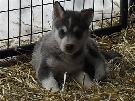 buy a used wolf or wolf x husky kijiji edmonton bargain finder used buy and sell and free classifieds