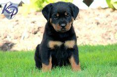 rottweiler golden retriever mix for sale golden retriever and rottweiler mix picture puppies rottweiler mix