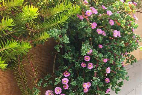 trailing succulents surreal succulents