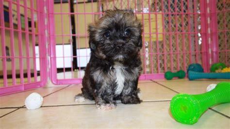 havanese breeders in ga adorable havanese puppies for sale in at puppies for sale local breeders