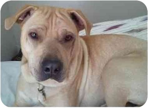 shar pei golden retriever mix elvis adopted los angeles ca golden retriever shar pei mix