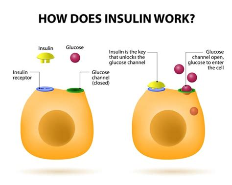 Insulin Also Search For Insulin S In The Human