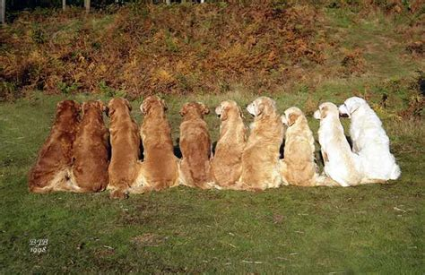 golden retrievers history history